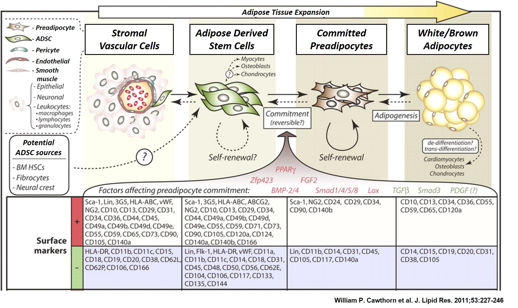 Relationships between SVCs, ADSCs, committed preadipocytes, and mature adipocytes