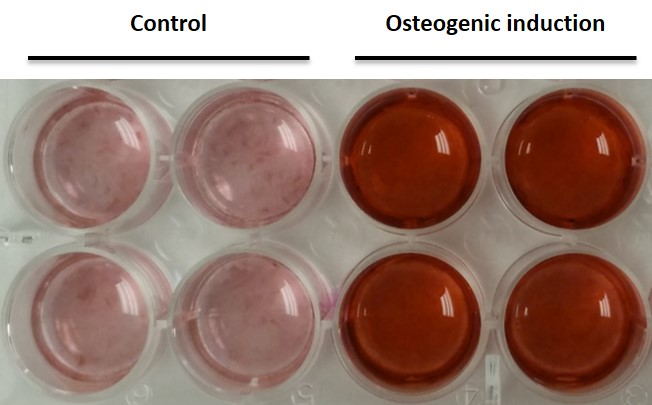 Osteogenic induction